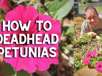 How to deadhead petunias, with bright hot pink flowers.