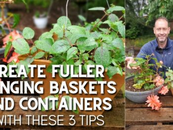 Fuchsia plants in a hanging basket and a begonia in a container with a male standing behind them showcasing how to make them look fuller with 3 easy tips.