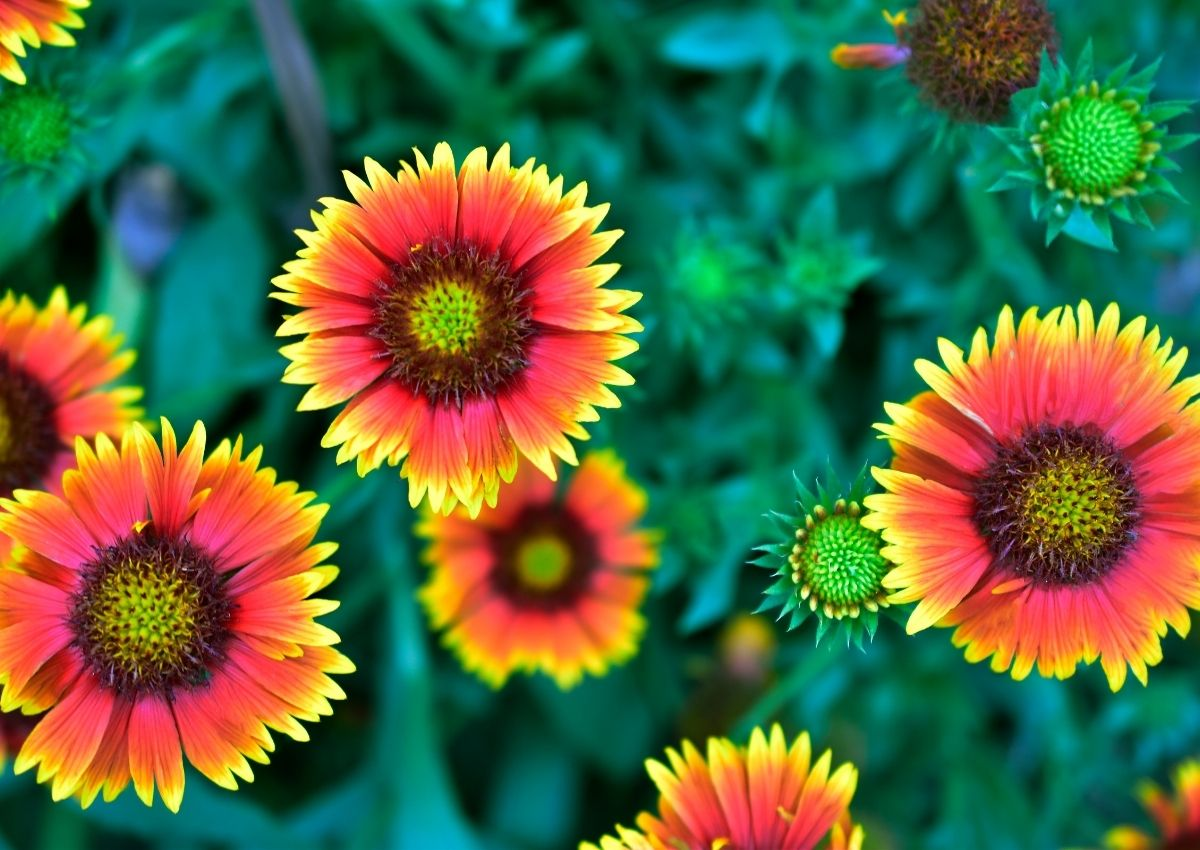 Multiple blacket flowers with bright center cones with petals radiating out starting orange colored and then progressing to a pink to be tipped bright yellow.