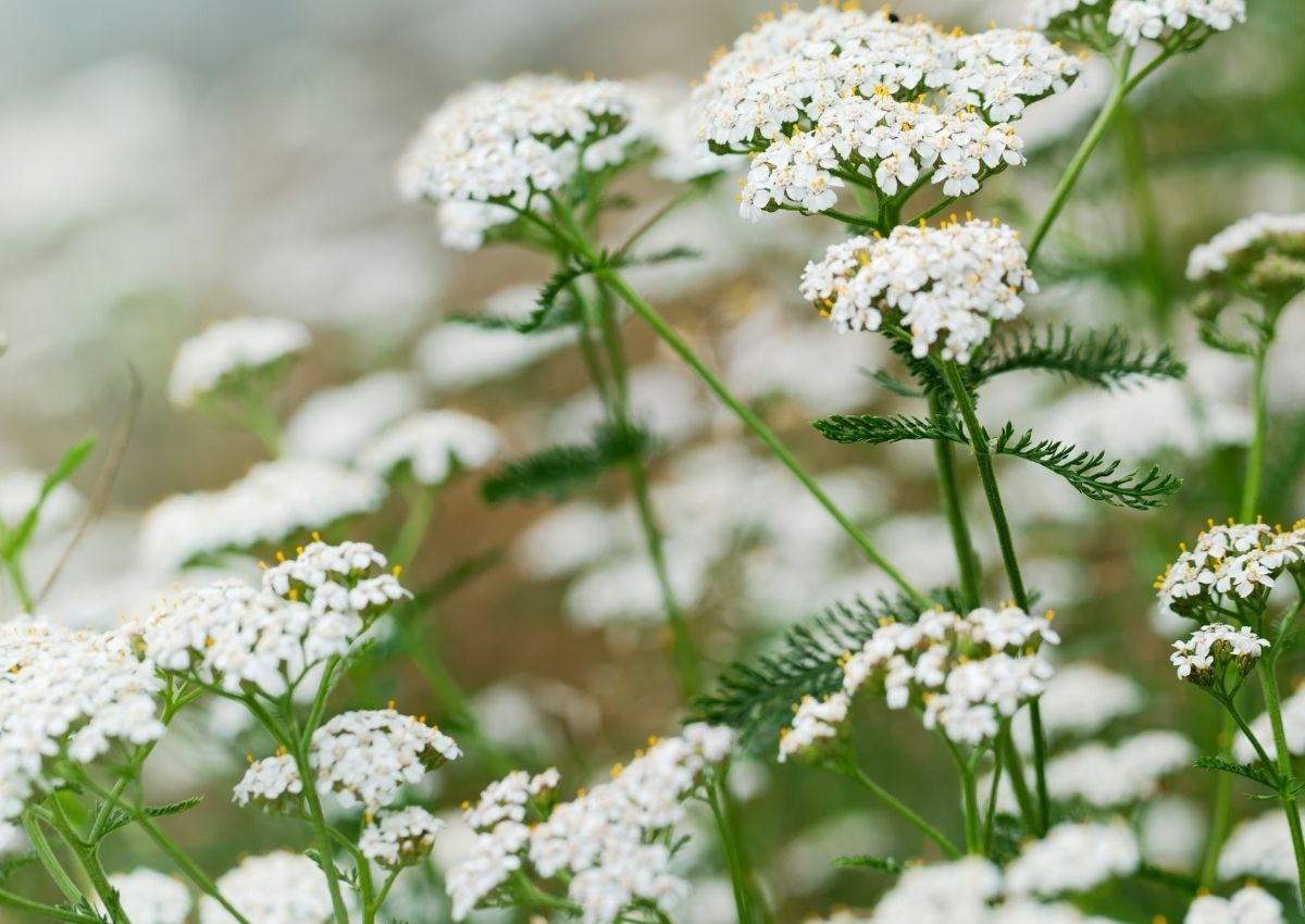 Common Yarrow flowers on tall stems glowing white in the sunshine.