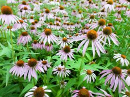 A grouping of purple coneflowers with bulbous center cones having light purple petals radiating out from the center.