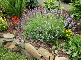 A lavender plant amongst other hardy perennials in a garden bed with bright pink spires of flowers on long stems.