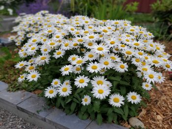 Shasta daisy clump of bright white petalled, yellow centered flowers on long green leaved stems growing in a garden.